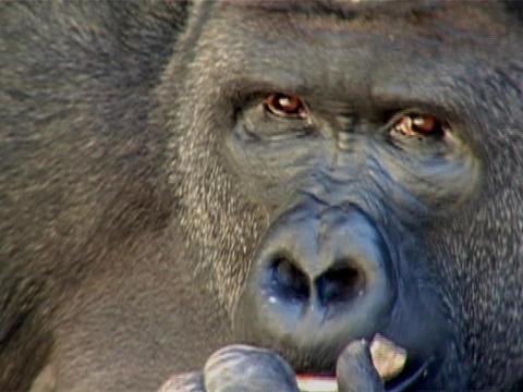 A gorilla eats a piece of bark Stock Video Footage
