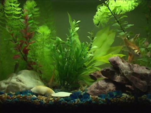 Goldfish swim in an aquarium Stock Video Footage