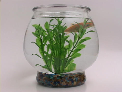 A goldfish swims around in a bowl Stock Video Footage