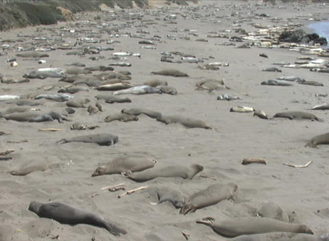 Hundreds of seal lions lounge on a California beach Stock Video Footage