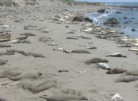 Hundreds of seal lions lounge on a California beach Footage