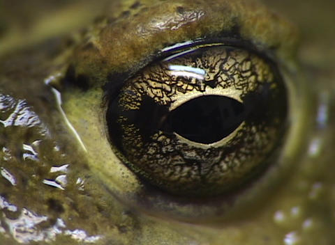 A close-up of a brown eye with an oval shaped pupil set in wet green skin Footage