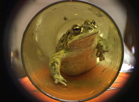 A medium shot of a green frog crawling through a glass tube Footage