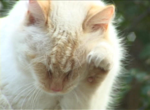 A white cat cleans its face against a leafy green background Footage
