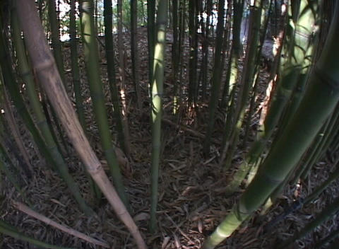 Bamboo grows in a forest Stock Video Footage