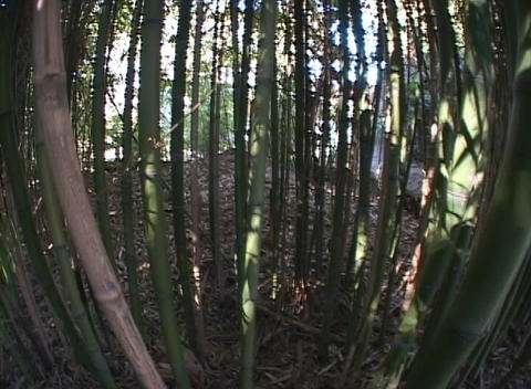 Bamboo grows in a forest Footage