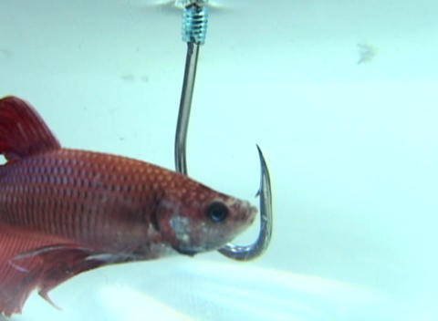 A beta-fish nonchalantly swims closely to a large hook... Stock Video Footage