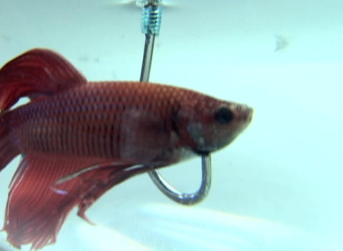 A beta-fish nonchalantly swims closely to a large hook without touching it Footage