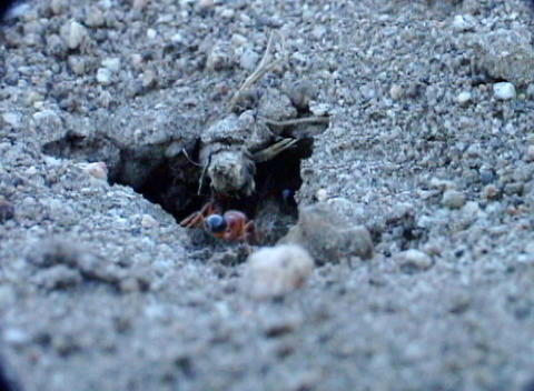 A mass of red and black ants come in and out of their hill Stock Video Footage