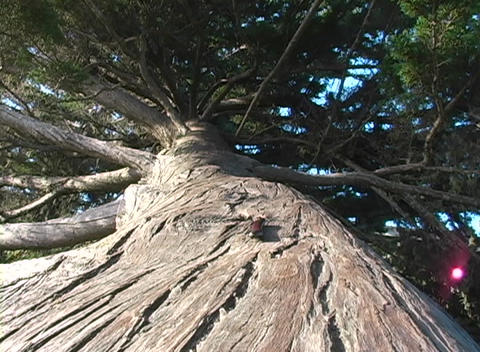 Looking up the trunk of a large tree a millipede moves... Stock Video Footage