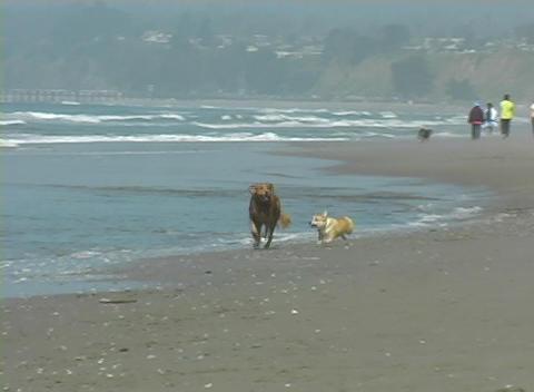 A large and small dog run along the shore together and... Stock Video Footage