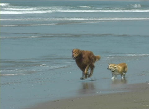 A large and small dog run along the shore together and then pick up a ball in the water Footage