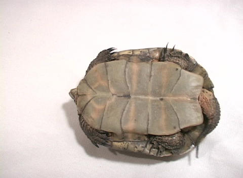 Bird's-eye-view of a turtle struggling to turn over Live Action