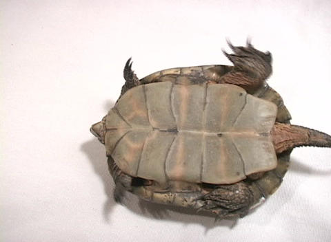 Bird's-eye-view of a turtle struggling to turn over Stock Video Footage