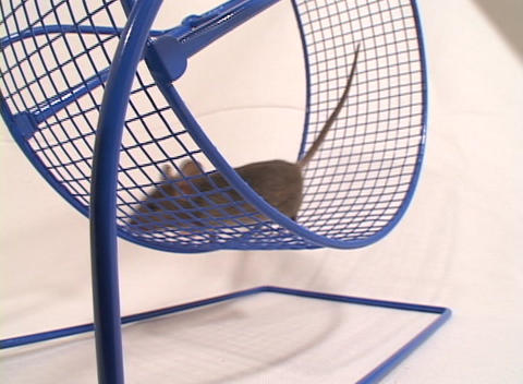 Close-up of a mouse in an exercise wheel Stock Video Footage