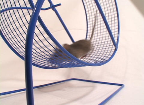 Close-up Of A Mouse In An Exercise Wheel stock footage
