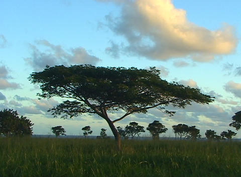 An acacia tree stands alone in the foreground with many... Stock Video Footage