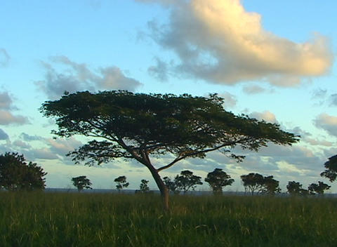An acacia tree stands alone in the foreground with many more silhouetted against a blue sky in the b Footage