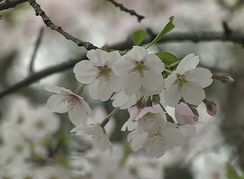 Delicate cherry blossoms symbolize peace and friendship... Stock Video Footage