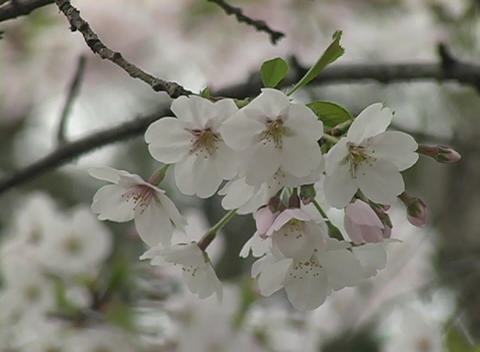 Delicate cherry blossoms symbolize peace and friendship among Japan and the United States Footage