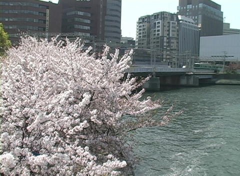 Cherry tree in full bloom adds color to urban scene... Stock Video Footage
