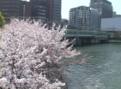 Cherry tree in full bloom adds color to urban scene showing public transportation system and office Footage