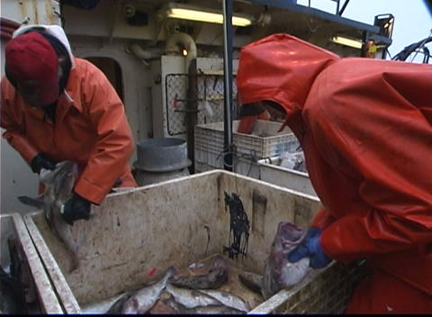fishermen cut open fish and throw them in another bin Stock Video Footage