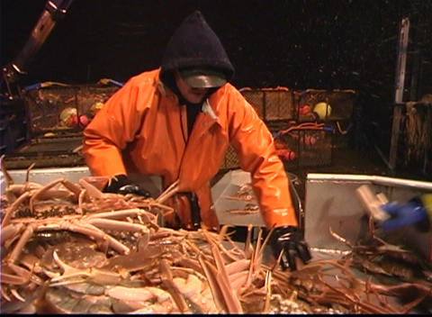 Three men work together to sort crabs into different bins Footage