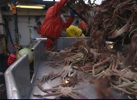 A lobster factory worker dumps a crab-pot full of King... Stock Video Footage