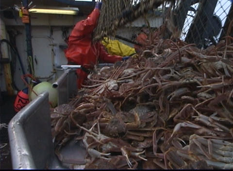 A lobster factory worker dumps a crab-pot full of King Crabs into a bin and then pulls it across the Footage