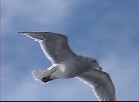 A Seagull Soars Through The Air stock footage