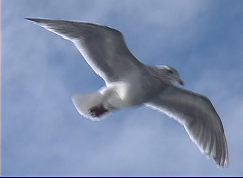 A seagull soars through the air Live Action