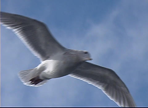 A seagull soars through the air Stock Video Footage
