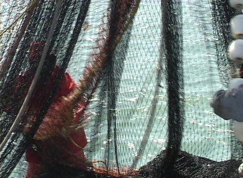 Fishermen search through a large net for any seafood catches Footage
