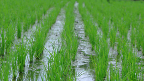 Gentle Breeze Stirs Leaves of Rice on a Balinese Farm Footage