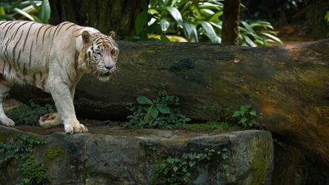 White Bengal Tiger Pacing on a Rock at the Zoo. UltraHD video Footage