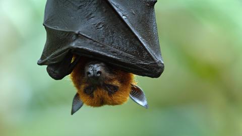 Large Flying Fox Hangs Upside Down. Footage UHD Footage