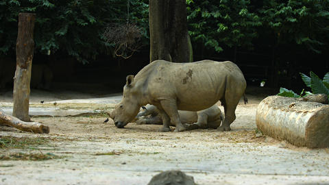 Two White Rhinoceroses at the Zoo. Footage UHD Footage