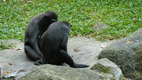 Pair of Sulawesi Crested Macaques at the Zoo. UltraHD video Footage