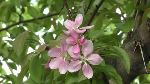 Apple Blossom pink color ライブ動画