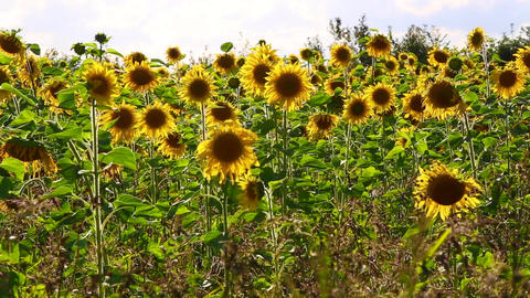 Field of sunflowers on a meadow Live Action