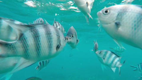 Shoal of tropical fish, Banded butterflyfish, with water surface in background,  Footage