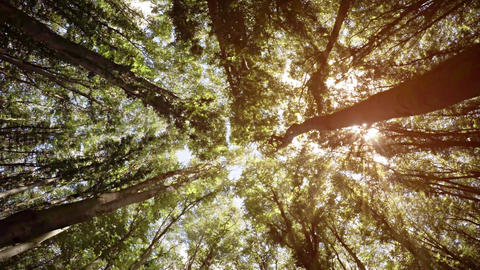 Bright Rays of Sunshine Filter through Forest Canopy. Video 4k Footage