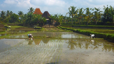 The peasants working in the rice plantations Footage