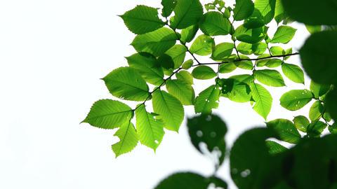 Closeup of Leaves Stirring in a Gentle Breeze. 4k UltraHD footage Footage