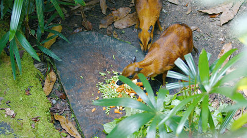 Chevrotains. also known as mouse-deer. are eating Footage