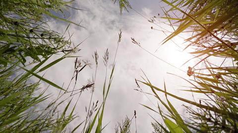 High Grass Towers over Camera as it Looks Skyward. with Sound Footage
