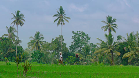 Local laborer crossing a rice field in Ubud. Video 4k Footage
