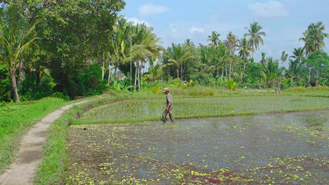 Local Laborer Working in a Rice Paddy in the Sun. 4k UltraHD footage Footage