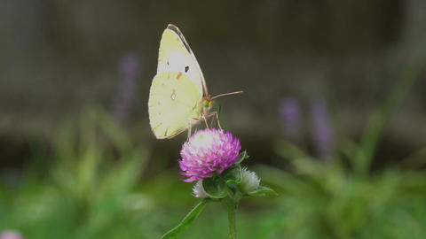 eastern pale clouded yellow and trifolium pratense Footage